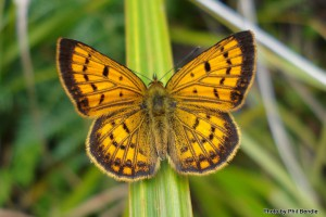 Male Common copper butterfly. Image: Phil Bendle | CitScihub