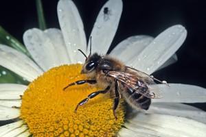 Honeybee [Apis mellifera]. Image: Don Horne