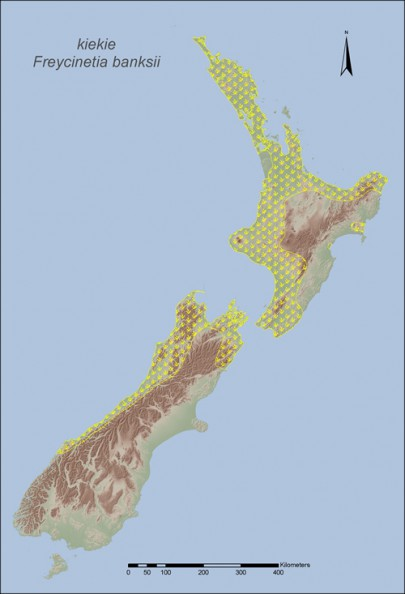 Kiekie is distributed widely in North Island lowland forests, and is found as far south as the Clarence River on the South Island east coast, and to Milford Sound in the west. Kiekie grows best in areas of moderate to high rainfall.