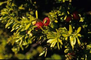 Podocarpus nivalis - the mountain or snow totara