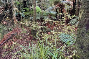 Ramarama plants in Taranaki v2
